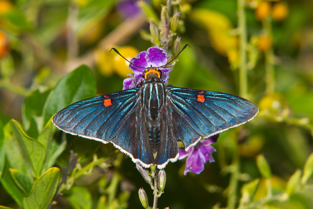 Guava Skipper - Photo (c) Greg Lasley, some rights reserved (CC BY-NC)