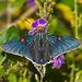 Phocides lilea - Photo (c) Greg Lasley,  זכויות יוצרים חלקיות (CC BY-NC)