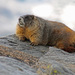 Marmots - Photo (c) daviddodd, some rights reserved (CC BY-NC)