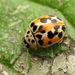 Psyllobora vigintimaculata - Photo (c) Katja Schulz, μερικά δικαιώματα διατηρούνται (CC BY)