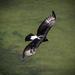 Águila Cafre - Photo (c) Brendan Cole, algunos derechos reservados (CC BY-NC-ND)