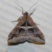 Melipotis cellaris - Photo (c) Chuck Sexton,  זכויות יוצרים חלקיות (CC BY-NC)