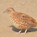 Common Buttonquail - Photo (c) copper, some rights reserved (CC BY-NC)