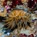 Epiactis prolifera - Photo (c) Ken-ichi Ueda, algunos derechos reservados (CC BY-NC-SA)