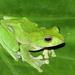 Zhangixalus smaragdinus - Photo (c) David V. Raju, algunos derechos reservados (CC BY-SA)