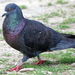 Feral Pigeon - Photo (c) Kala Murphy King, some rights reserved (CC BY-NC-ND)