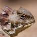 Horned Lizards - Photo (c) Ken-ichi Ueda, some rights reserved (CC BY)