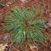 Carex nigromarginata - Photo (c) Doug Goldman,  זכויות יוצרים חלקיות (CC BY-NC)