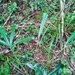Neocussonia longipedicellata - Photo (c) ravorama, alguns direitos reservados (CC BY-NC)