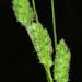 Carex swanii - Photo (c) Doug Goldman, algunos derechos reservados (CC BY-NC)