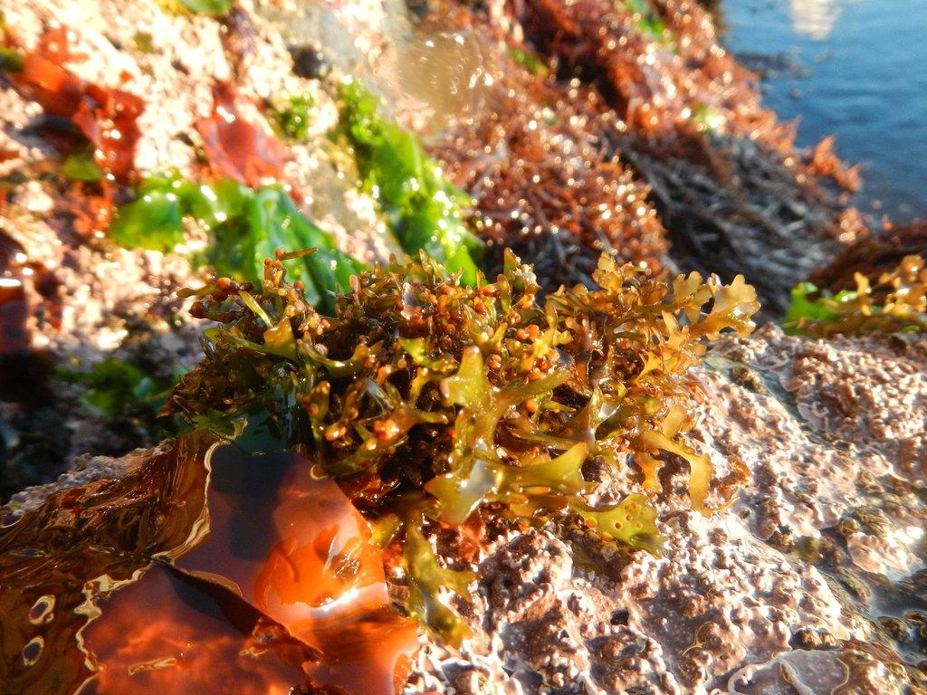 Mazzaella canaliculata - Photo (c) Erasmo Macaya, algunos derechos reservados (CC BY-NC)