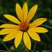 Heliopsis helianthoides - Photo (c) Joshua Mayer, algunos derechos reservados (CC BY-SA)