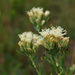 False Boneset - Photo (c) Peter Gorman, some rights reserved (CC BY-NC-SA)