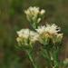 Brickellia eupatorioides - Photo (c) Peter Gorman,  זכויות יוצרים חלקיות (CC BY-NC-SA)