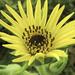Silphium laciniatum - Photo (c) Frank Mayfield,  זכויות יוצרים חלקיות (CC BY-SA)