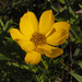 Coreopsis palmata - Photo (c) Peter Gorman, alguns direitos reservados (CC BY-NC-SA)