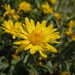 Hairy False Goldenaster - Photo (c) Matt Lavin, some rights reserved (CC BY-SA)