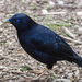 Satin Bowerbird - Photo (c) David Cook, some rights reserved (CC BY-NC)