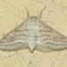 Lobocleta plemyraria - Photo (c) Chuck Sexton, alguns direitos reservados (CC BY-NC)