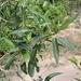 Populus angustifolia - Photo (c) Eric Hough, osa oikeuksista pidätetään (CC BY-NC)