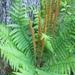 Osmundastrum cinnamomeum - Photo (c) hollyyoung, algunos derechos reservados (CC BY-NC)