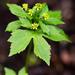 Ranunculus recurvatus - Photo (c) Greg Funka, algunos derechos reservados (CC BY-NC)