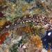 Oligocottus rimensis - Photo (c) Robin Gwen Agarwal,  זכויות יוצרים חלקיות (CC BY-NC)