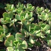 Tree Stonecrop - Photo (c) Fabiola, some rights reserved (CC BY-NC)
