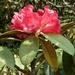 Nilgiri Rhododendron - Photo (c) L. Shyamal, some rights reserved (CC BY-SA)