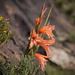 Gladiolus oppositiflorus - Photo (c) Brendan Cole, osa oikeuksista pidätetään (CC BY-NC-ND)