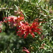 Juniper-leaf Grevillea - Photo (c) anonymous, some rights reserved (CC BY-SA)
