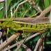 Large Marsh Grasshopper - Photo (c) Jürgen Mangelsdorf, some rights reserved (CC BY-NC-ND)