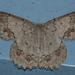Epipristis minimaria - Photo (c) Vijay Anand Ismavel, algunos derechos reservados (CC BY-NC-SA), uploaded by Dr. Vijay Anand Ismavel MS MCh