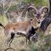 Cabra Montes - Photo (c) RaMaOrLi, algunos derechos reservados (CC BY-NC)