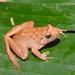 Limnonectes microdiscus - Photo (c) Huda Wiradarma, μερικά δικαιώματα διατηρούνται (CC BY-NC)