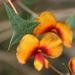 Platylobium obtusangulum - Photo (c) Philip Bouchard, algunos derechos reservados (CC BY-NC-ND)