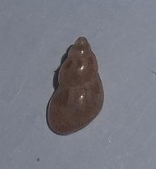 Image of Tricolia tenuis