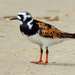Ruddy Turnstone - Photo (c) Ad Konings, some rights reserved (CC BY-NC)