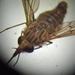 Caenopangonia - Photo (c) danielaperezorellana, osa oikeuksista pidätetään (CC BY-NC)