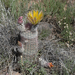 Texas Rainbow Cactus - Photo (c) Christopher Rustay, some rights reserved (CC BY-NC)