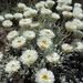 Leucochrysum alpinum - Photo (c) smilelynaomi, some rights reserved (CC BY-NC)