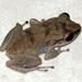 Eleutherodactylus gossei - Photo Δεν διατηρούνται δικαιώματα