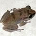 Eleutherodactylus gossei - Photo no hay derechos reservados