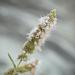 Mentha longifolia capensis - Photo (c) Brendan Cole, alguns direitos reservados (CC BY-NC-ND)