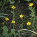 Ranunculus multifidus - Photo (c) Brendan Cole, alguns direitos reservados (CC BY-NC-ND)