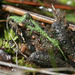 Southern Cricket Frog - Photo (c) Patrick Coin, some rights reserved (CC BY-NC-SA)