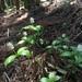 Chloranthus quadrifolius - Photo (c) Keita Watanabe, algunos derechos reservados (CC BY-NC)