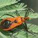 Gminatus australis - Photo (c) Reiner Richter, algunos derechos reservados (CC BY-NC-SA)