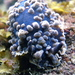 Bubbly Dendrodoris - Photo (c) Sylke Rohrlach, some rights reserved (CC BY-SA)