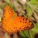 Phalanta phalantha aethiopica - Photo (c) i_c_riddell, algunos derechos reservados (CC BY)
